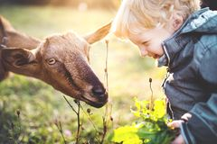 A little toddler boy feeding a goat outdoors on a meadow at sunset. royalty free stock photo