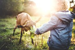 A little toddler boy feeding a goat outdoors on a meadow at sunset. stock image