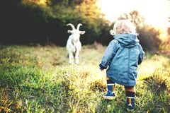 A little toddler boy and a goat outdoors on a meadow at sunset. stock photo