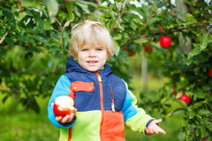Little toddler boy picking red apples Royalty Free Stock Image