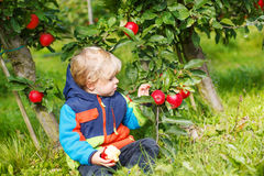 Little toddler boy picking red apples Stock Photo
