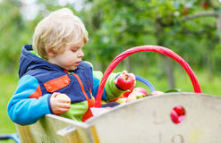 Little toddler boy picking red apples Royalty Free Stock Photos
