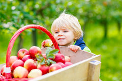 Little toddler boy picking red apples on farm Royalty Free Stock Images