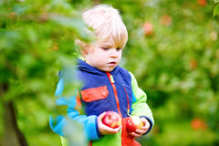 Little toddler boy picking red apples on farm Stock Photography