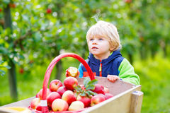 Little toddler boy picking red apples on farm Stock Image