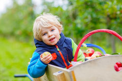 Little toddler boy picking red apples on farm Stock Photos