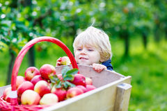 Little toddler boy picking red apples in orchard Stock Photography