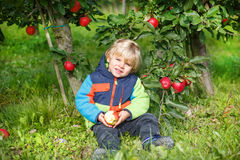 Little toddler boy of two years eating red apples in an orchard Royalty Free Stock Images