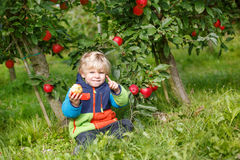 Little toddler boy of two years eating red apples in an orchard Stock Images