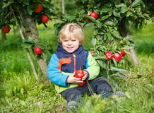 Little toddler boy of two years eating red apples in an orchard Royalty Free Stock Photo