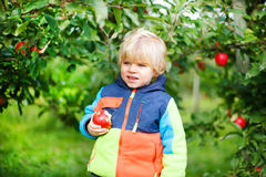 Little toddler boy of two years eating red apples in an orchard Stock Photos