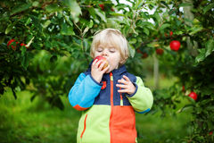 Little toddler boy of two years eating red apples in an orchard Royalty Free Stock Photos