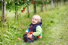 Little toddler boy of two years picking red apples in an orchard Stock Photos