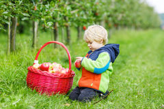 Little toddler boy of two years picking red apples in an orchard Royalty Free Stock Photos