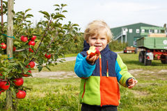 Little toddler boy of two years picking red apples in an orchard Royalty Free Stock Photography