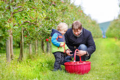 Little toddler boy of two years picking red apples in an orchard Stock Image