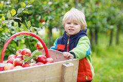 Little toddler boy of two years picking red apples in an orchard Stock Photo