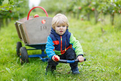 Little toddler boy of two years picking red apples in an orchard Royalty Free Stock Image