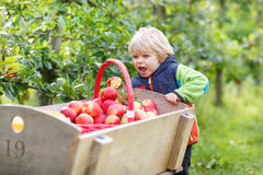 Little toddler boy of two years picking red apples in an orchard Stock Photography