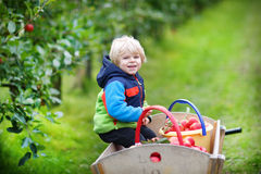 Little toddler boy of two years picking red apples in an orchard Royalty Free Stock Images