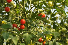 Little tomatoes on the garden. Day light,close up Royalty Free Stock Photo