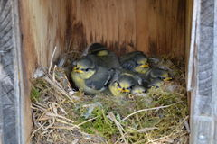 Little tomtits in a nest Stock Photography