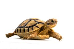 Little tortoise royalty free stock images