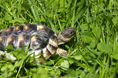 Little tortoise. Beautiful little turtle herman in green grass Royalty Free Stock Photos