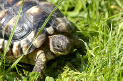 Little tortoise. Beautiful little turtle herman in green grass Stock Photos