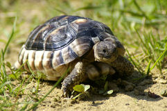 Little tortoise Royalty Free Stock Photos