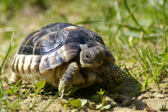 Little tortoise. Beautiful little turtle herman in green grass Royalty Free Stock Photo