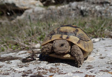 Little tortoise baby on a rock Stock Photo
