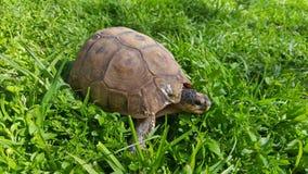 Little tortoise in the grass Stock Photo