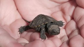 Little tortoise is waking in the human`s hands stock video