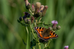 Little Tortoiseshell Butterfly. On a thistle Stock Photography