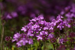 A little tough beauty - the creeping wild thyme. Creeping wild thyme, a little tough plant with a range of use: medicine, ground cover, bees are loving it stock image