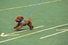 Little toy poodle dog running stock photography