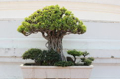 Little tree or bonsai. In the pot royalty free stock photography