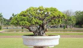 Little tree or bonsai. In the pot stock photos