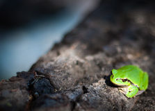 Little tree frog Royalty Free Stock Photos