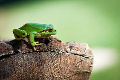 A little tree frog Royalty Free Stock Images