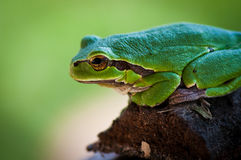 A little tree frog Stock Image