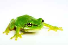 Little tree-frog on white background Stock Images