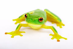 Little tree-frog on white background Stock Photo