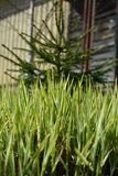Little tree in green grass on the background of the house stock photo
