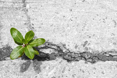 Little tree growing from cracked concrete Royalty Free Stock Photo