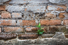 Little tree growth on old bricks wall background Royalty Free Stock Photography