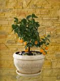 Little tree with oranges Royalty Free Stock Image