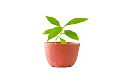 Little tree in pot isolated Royalty Free Stock Images