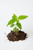 Little tree with soil growing Royalty Free Stock Photography